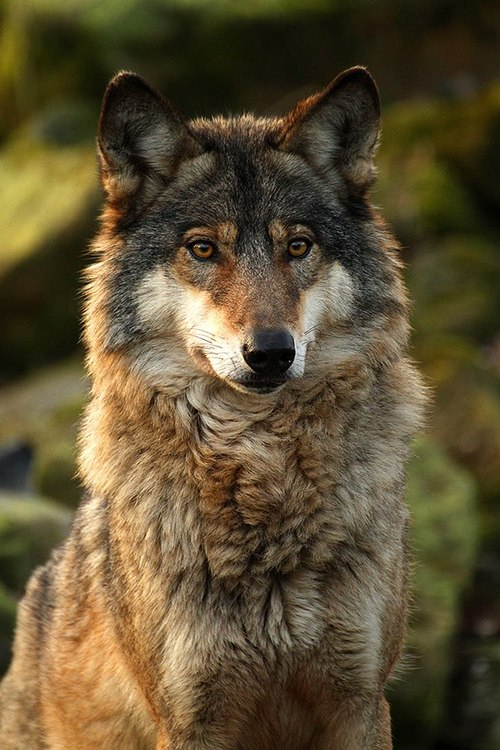 Against all odds a wolf and dog roleplay open general open speciesbreed grey wolf x arctic wolf cross personality she is sweet quiet and motherly scarlet used to be a caretaker sciox Images