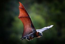 flyingfox3