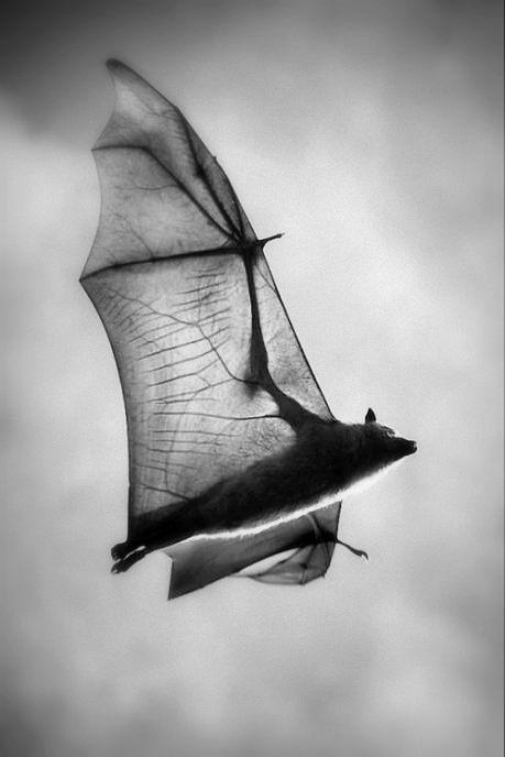 flyingfoxanatomy