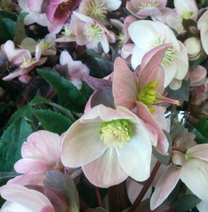 hellebore2-crop-blog