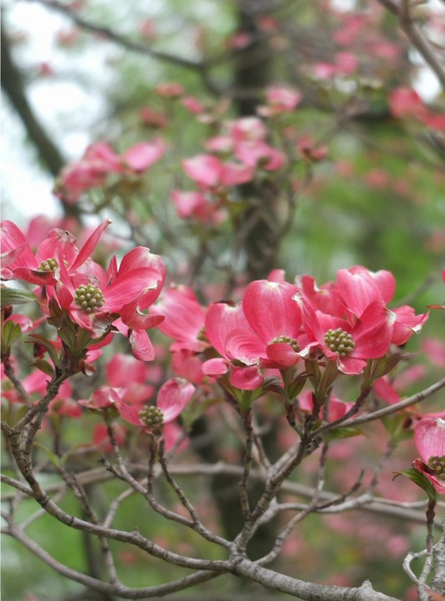 dogwood1-blog