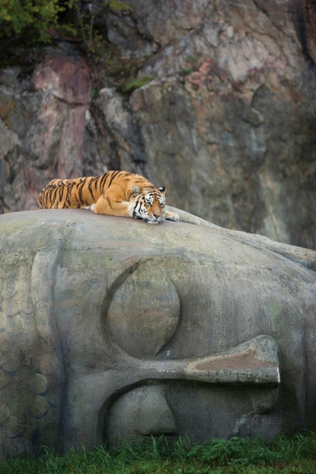 tigeronbuddhahead