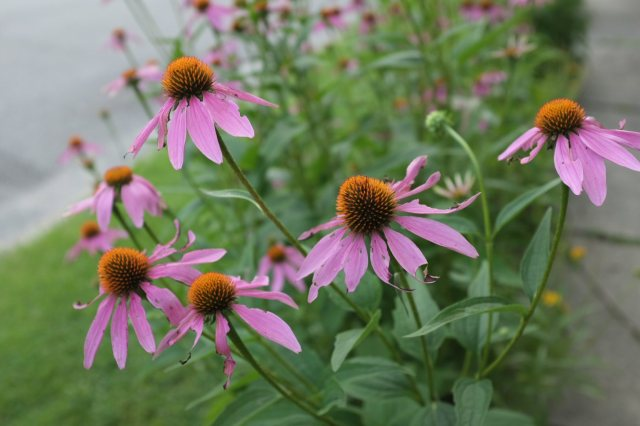 coneflowers-overcast-blog