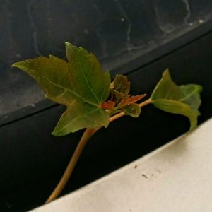 maple tree 1-crop