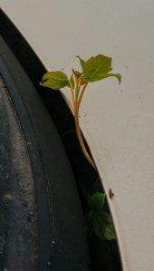 maple tree 2-blog
