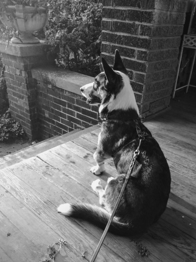 dire corgi porch black and white-blog