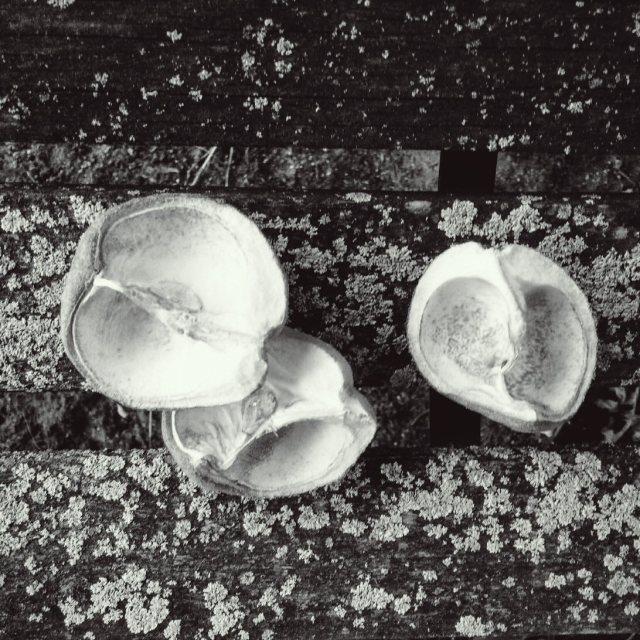 triplebuckeye-shell-blackandwhite-blog