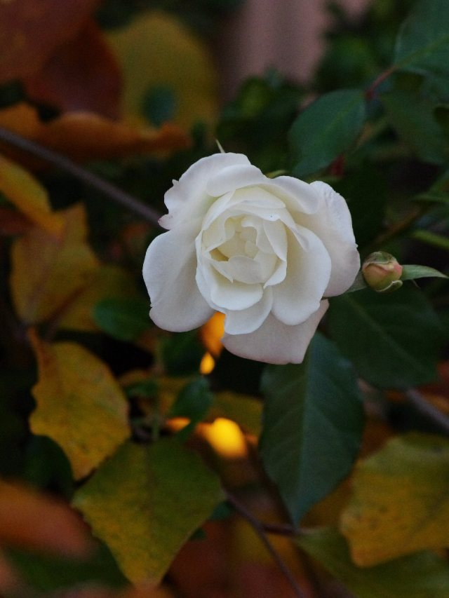 whiterose3-crop1-3by4-blog