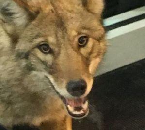 kohls coyote