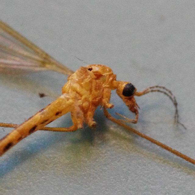 IMGP0038-mosquito-closeup2-blog