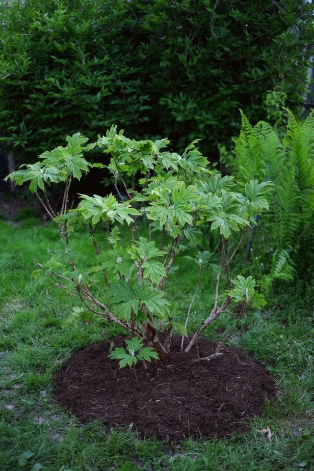 DSCF0799-oakleafhydrangea-tweaked-blog