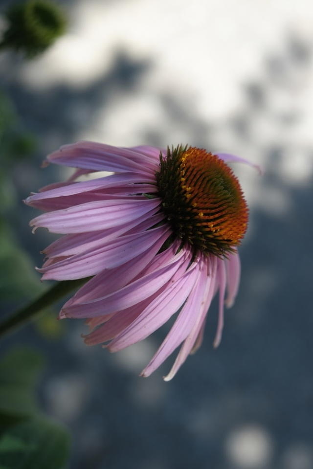 DSCF1196-rotate-coneflower2-blog