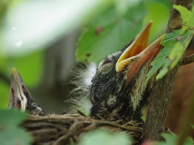 IMGP5265-2babybirds-4x3crop-tweak-blog