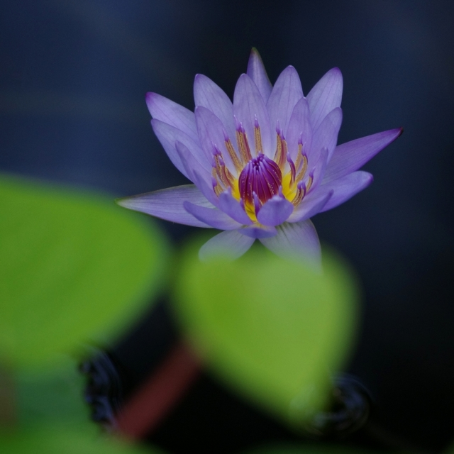 imgp9452-waterlily-crop-slighttweak-blog