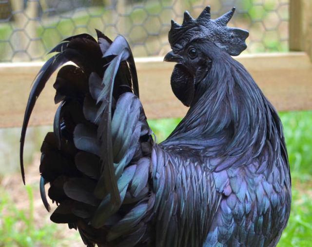 blackchicken2