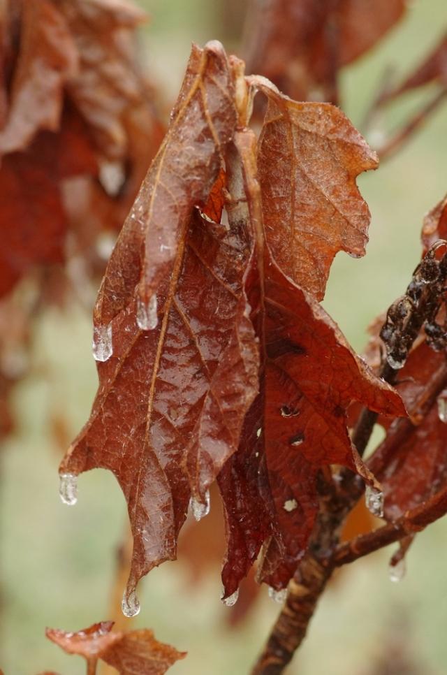 imgp1397-hydrangealeaves-crop-blog