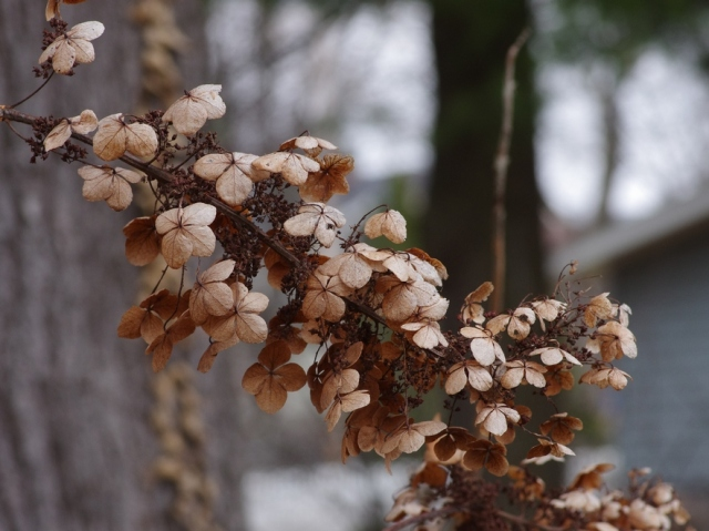 dryhydrangea-blog-4x3